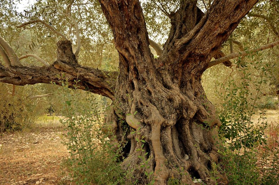 Olive Tree, Tree, Tribe, Log, Wood, Old, Gnarled