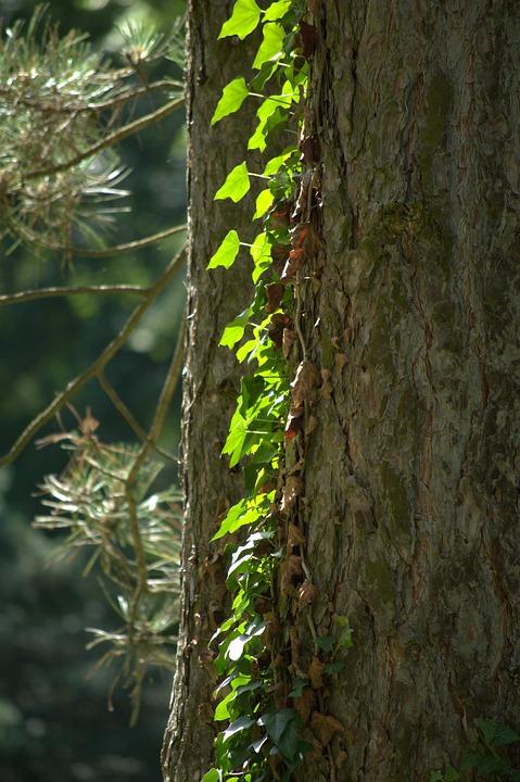 Wild Grapes, Log, Pine, Sunlight, Forest