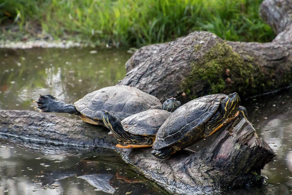 Turtles, Log, Water, Relax, Sunbathing