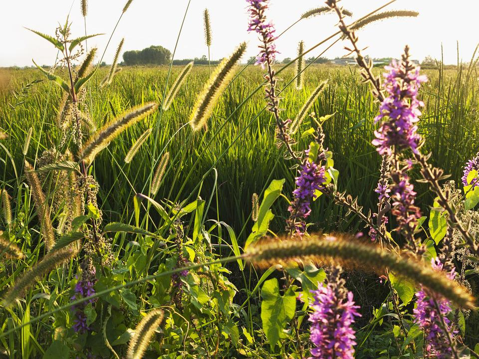 Lomellina, Landscape, Campaign, Flowers, Green, Summer
