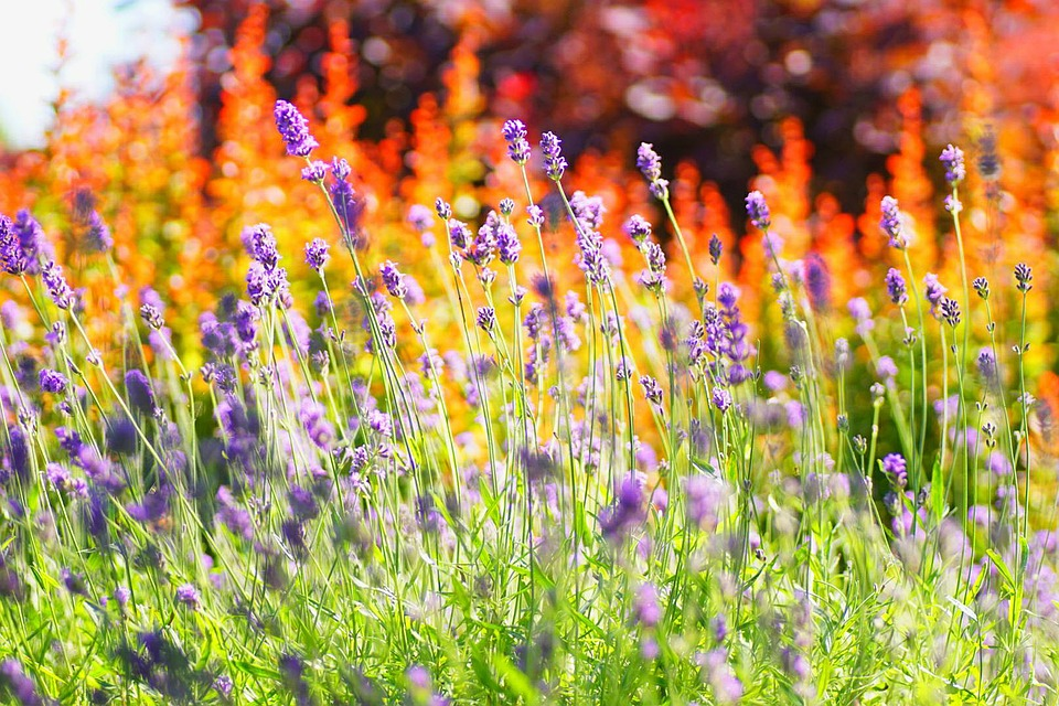 Lavender, Summer, Flowers, Temple, London, Hot, Bright
