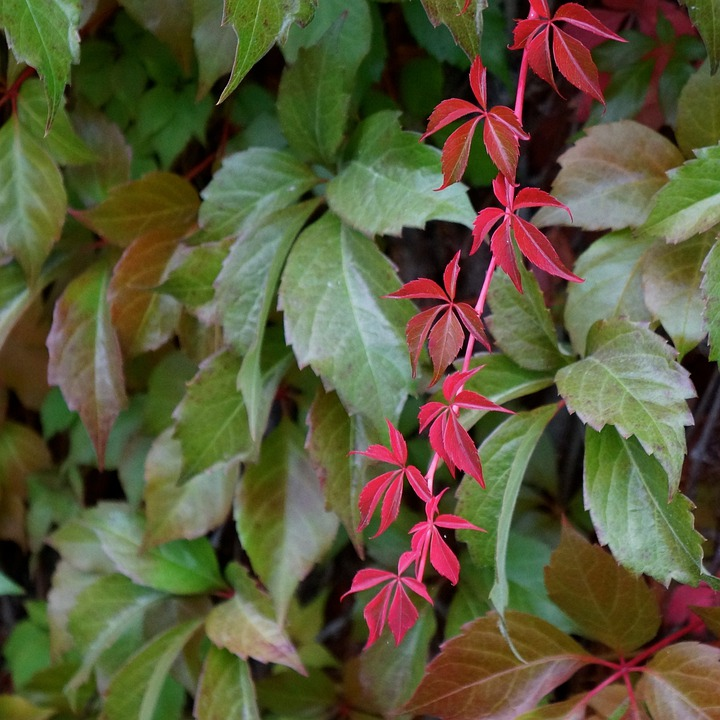 Lonely, Beautiful, Red, Vine, Autumn