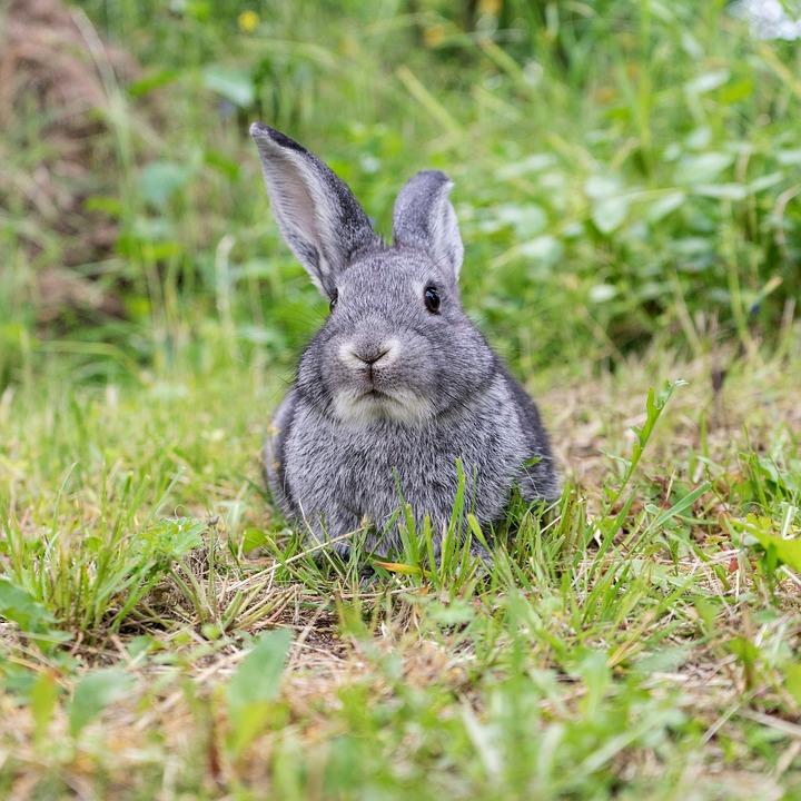 Rabbit, Animal, Pet, Cute, Long Eared, Fur, Dwarf Bunny
