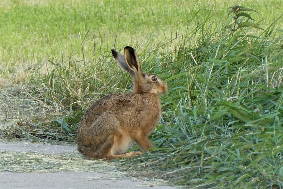 Haas, Pasture, Grass, Long Ears, Meadow, Summer, Spring