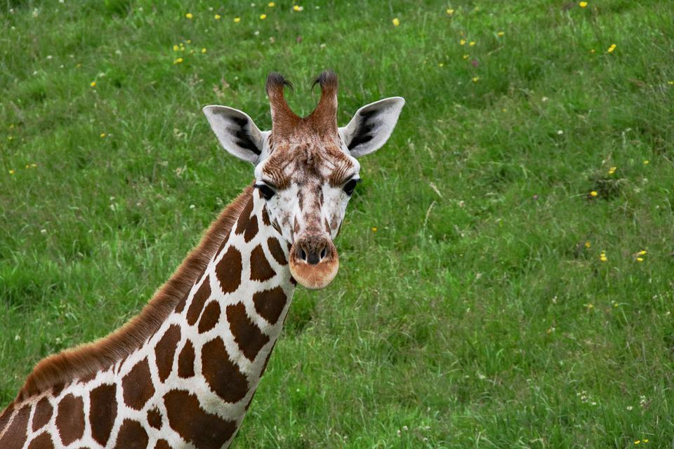 Free Photo Long Neck Mammal Animal Baby Giraffe Giraffe Max Pixel