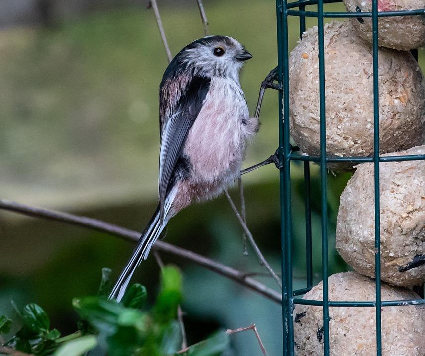 Long Tailed Tit, Pink Tit, Songbird, Garden Bird, Tit