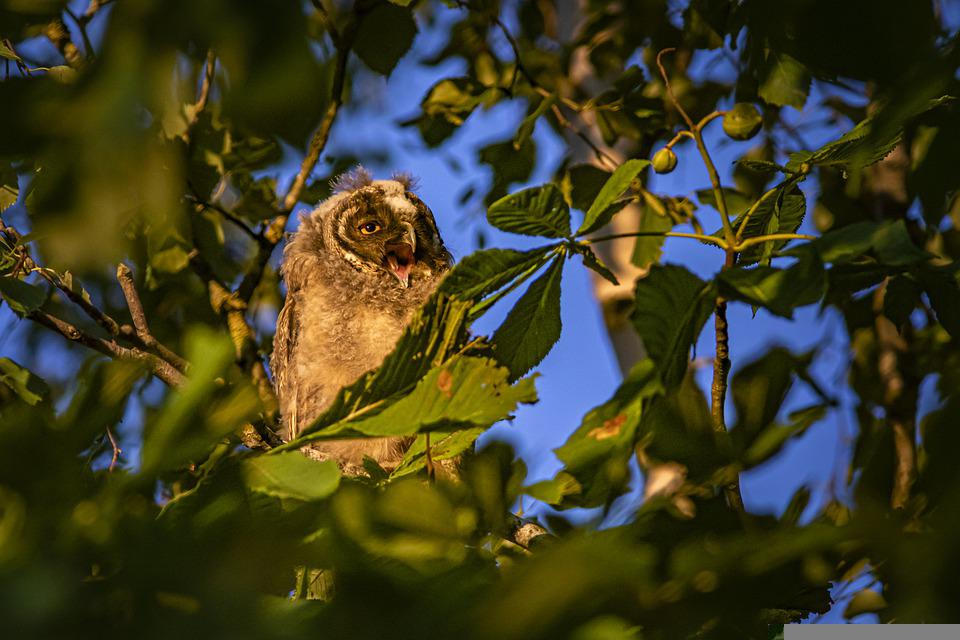 Long-eared Owl, Asio Otus, Owl, Wildlife, Bird Of Prey