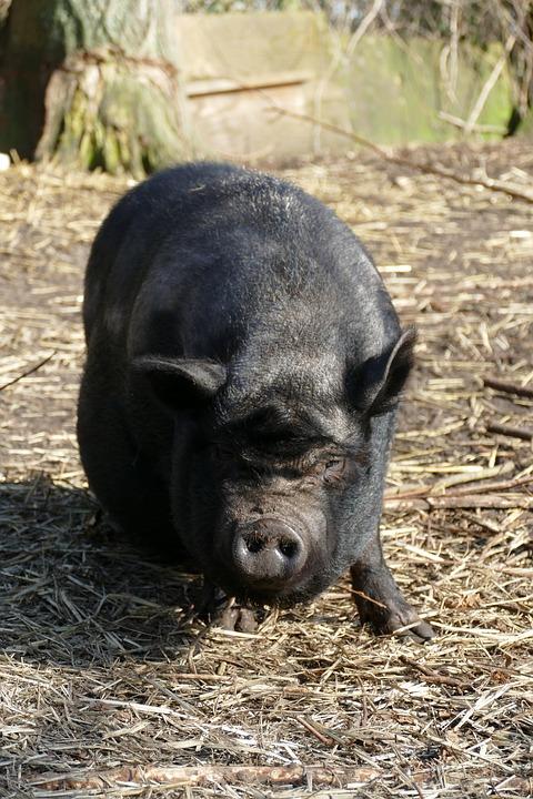 Potbellied Pig, Pig, Hog, Long-haired, Fauna, Pet, Farm