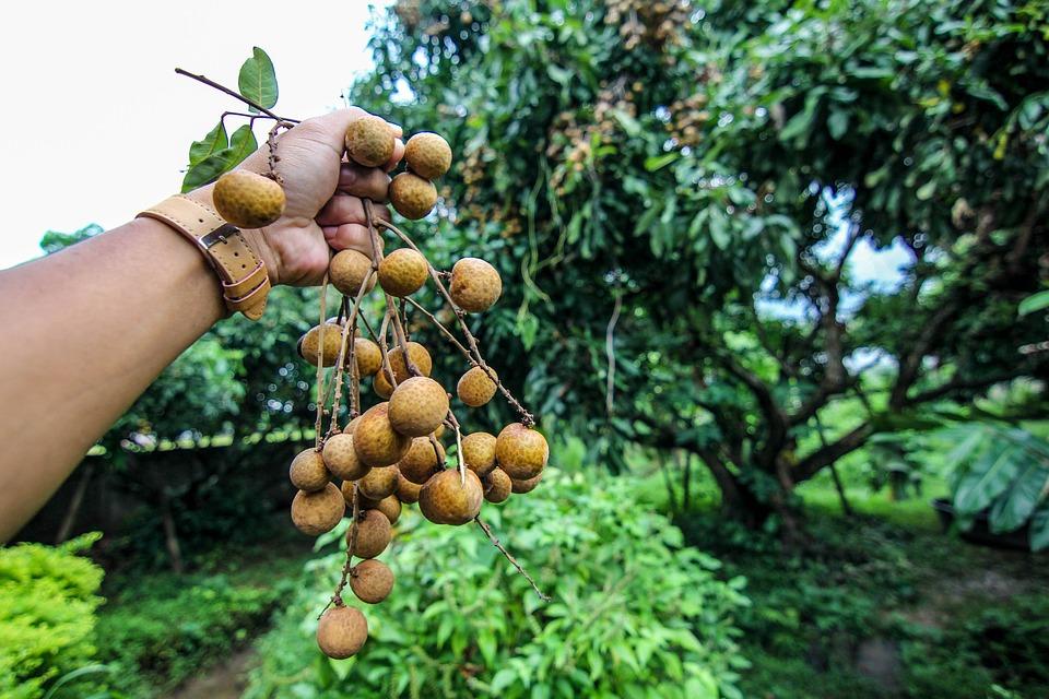 Longan, Fruit, Garden, Hands