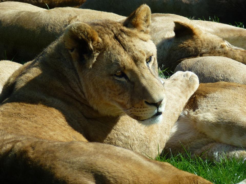 Lioness, Longleat, Sun Bathing, Cuddles