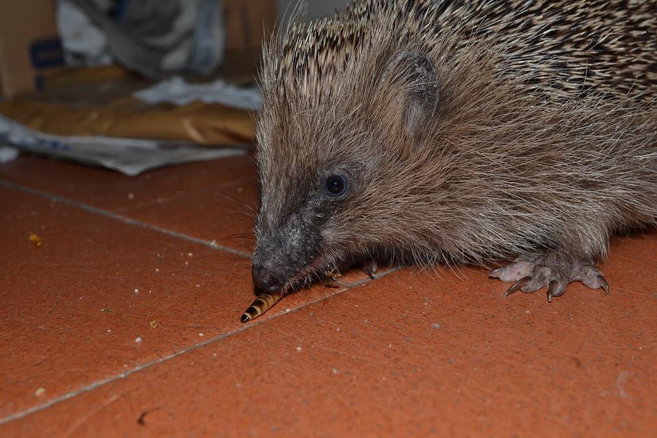 Hedgehog, Look, Eating, Animal