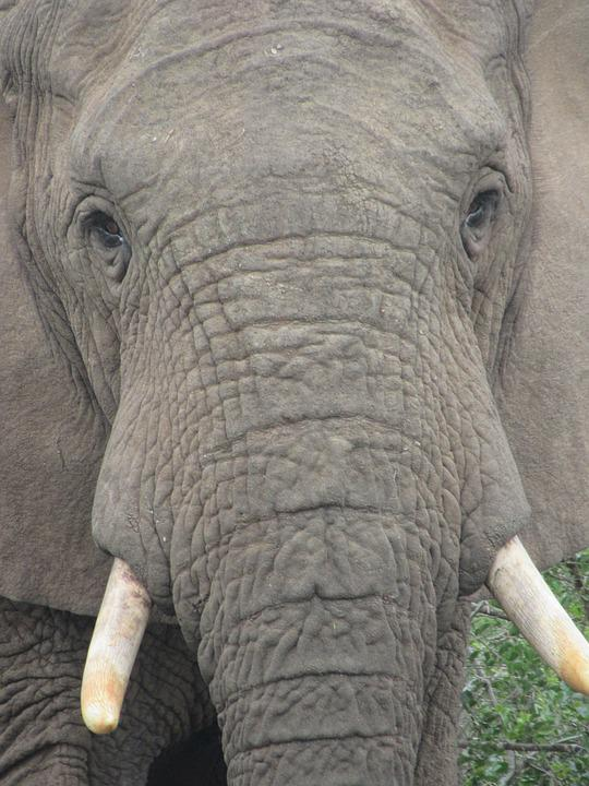Elephant, Look At, Penetrating, Powerful, Strong