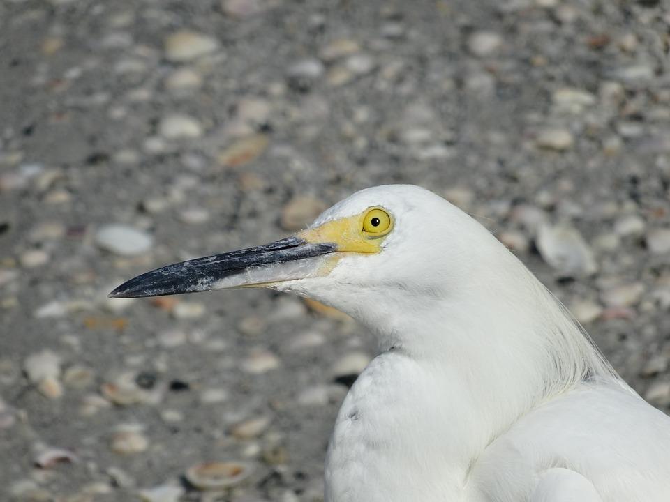 Seagull, Look, Bird, Beak