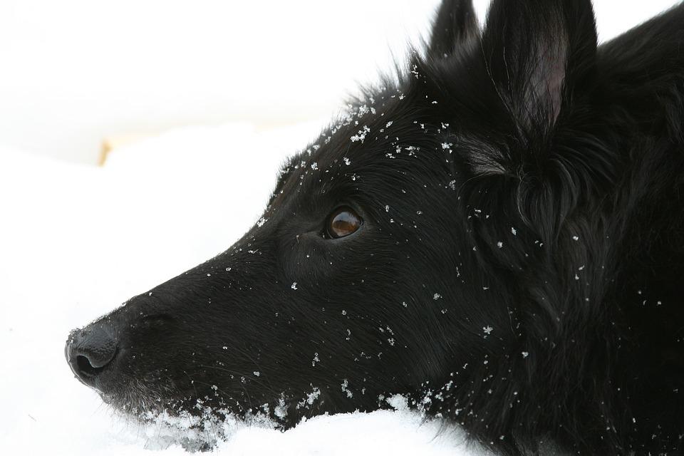 Dog, Belgian Shepherd Dog, Groenendael, Black, Look