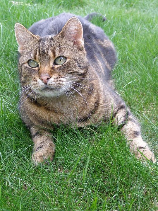 Cat, Dachowiec, Kitten, Animal, Look