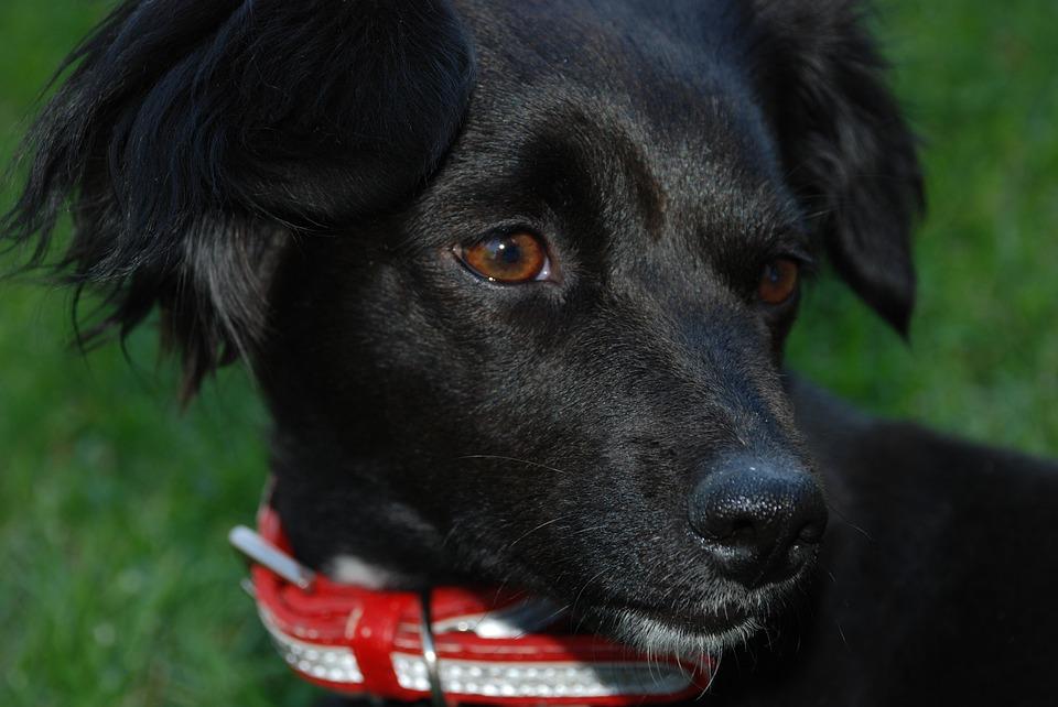 Animals, Dog, Pet, Look, Half Blood, Black Coat