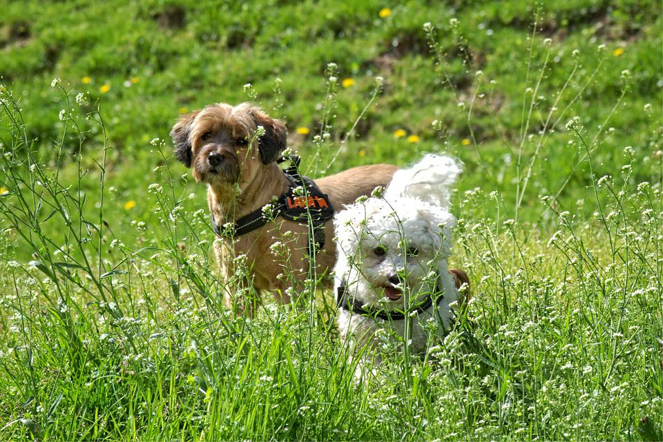Dog, Meadow, Grass, Flower Meadow, Together, Play, Look