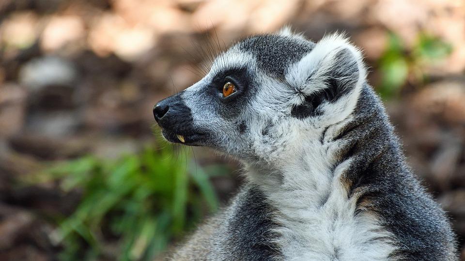 Lemur, Maki Catta, Look, Portrait, Eye, Eyes, Primate
