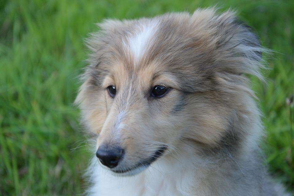 Dog, Look, Head, Shetland Sheepdog, Domestic Animal