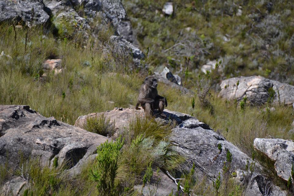 Monkey, Sit, Look, National Park, Reserve, Fauna