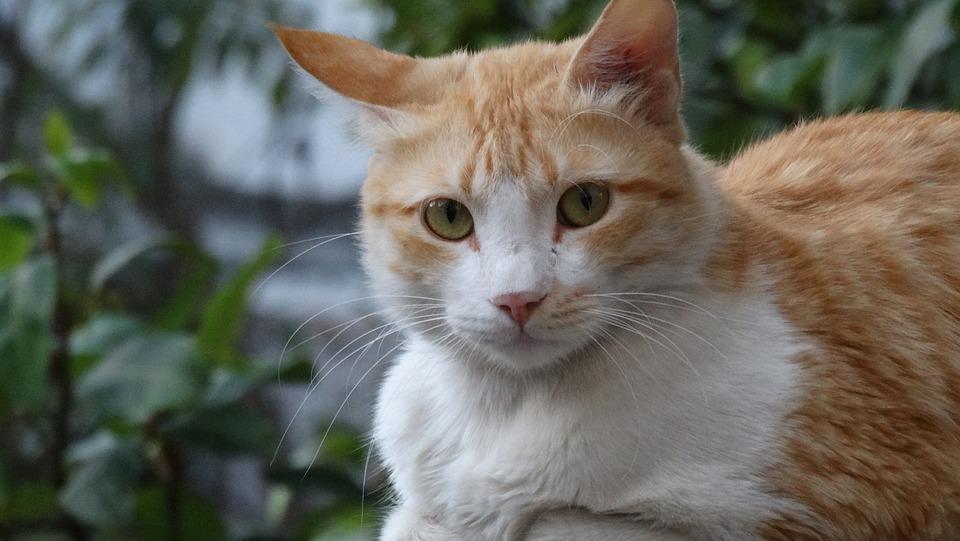 Cat, Eyes, Looking, Animal, Domestic, Fur, Cute, Kitten