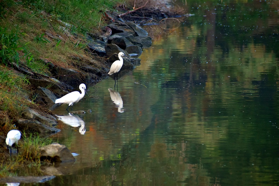 Cranes, Looking For Food, Water, Reflection, Pond