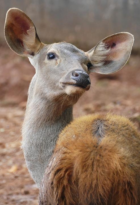 Deer, Looking, Wildlife, Nature, Doe, Mammal, Forest