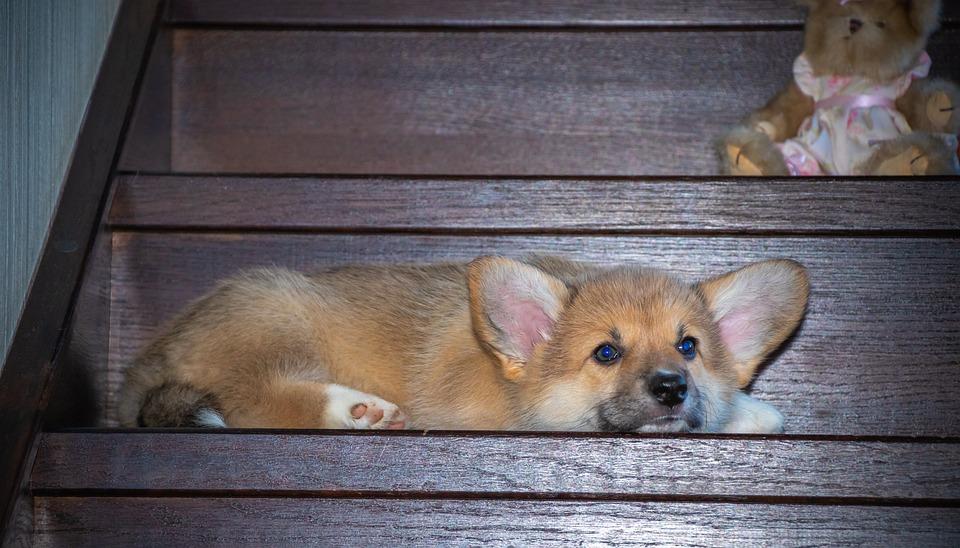 Corgi, Ears, Looking, Sleepy, Lying, Dog, Pet, Animal