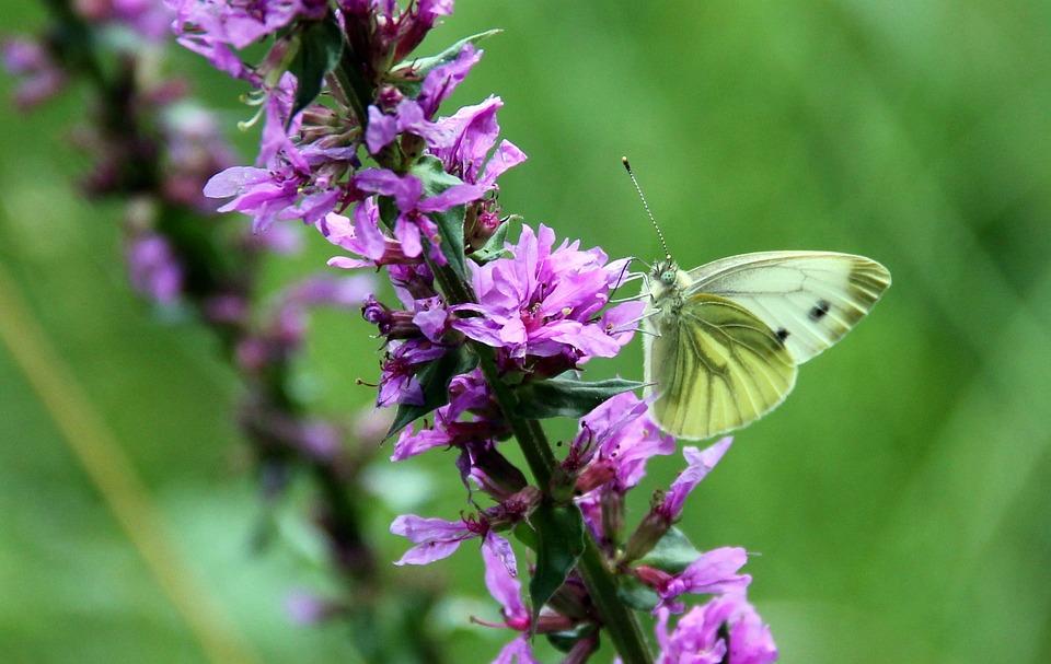 White, Loosestrife, Butterfly, Wild Flower