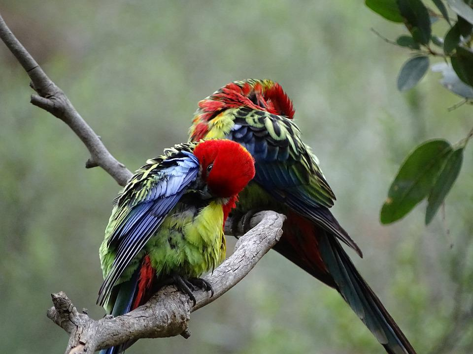 South Australia, Birds, Lorikeets