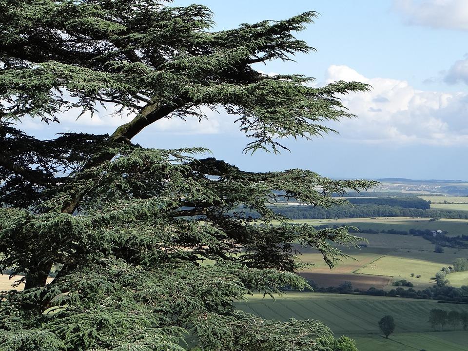 Cedar Balance Sheet, Cedar, Tree, Lorraine, Amance
