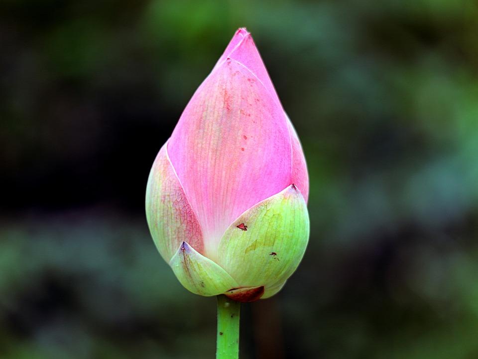 Lotus Flowers, Flower Buds, Lotus, A Flower Bud, Nice