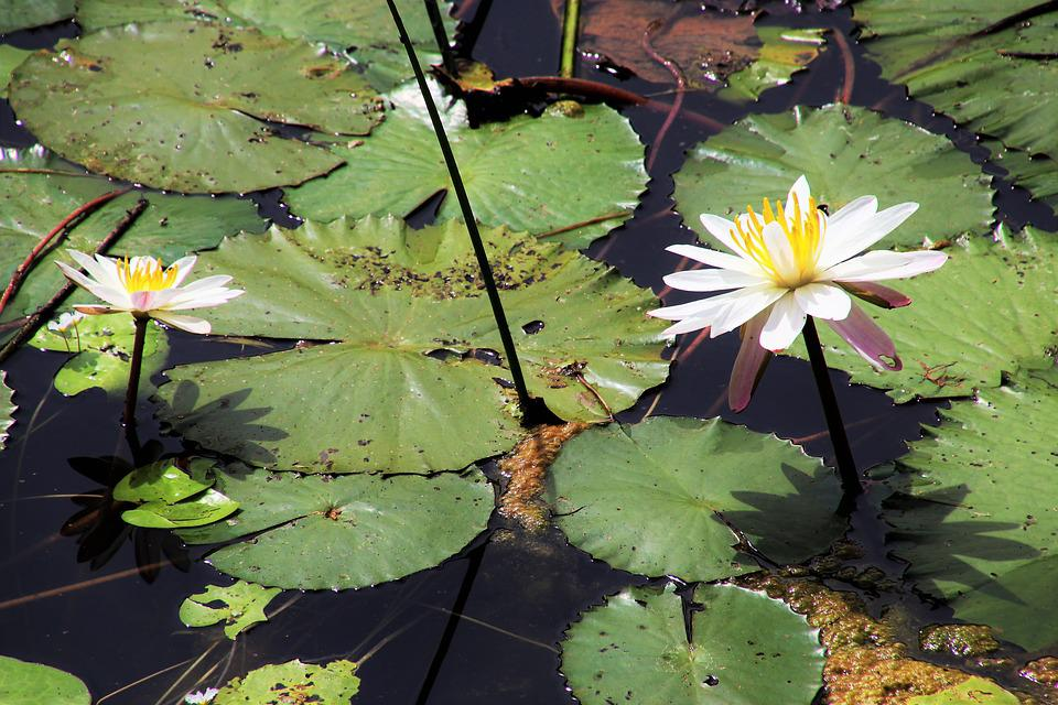 Lotus, Lily, Flower, Aquatic, Leaf, Blooming, Nature