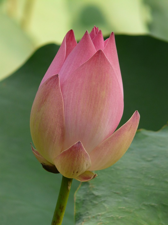free photo lotus blossom bloom flower lotus blossom plant  max pixel, Natural flower