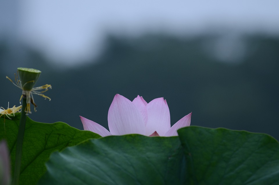 Lotus, Flower, Petals, Leaves, Foliage, Bud, Seed Head