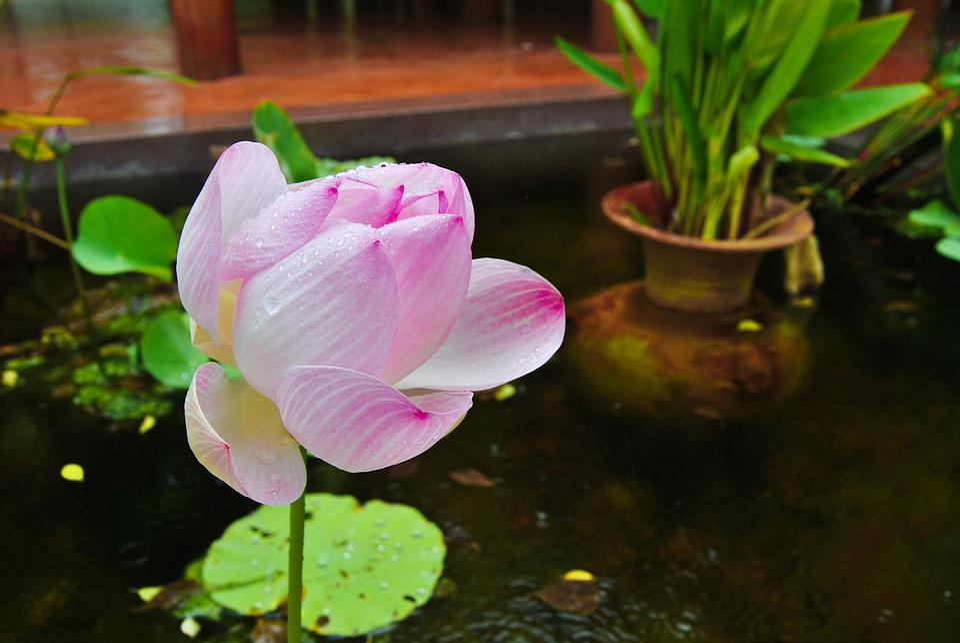 Free photo lotus colors nature lotus the pink flowers flowers max flowers lotus the pink flowers lotus colors nature mightylinksfo Image collections