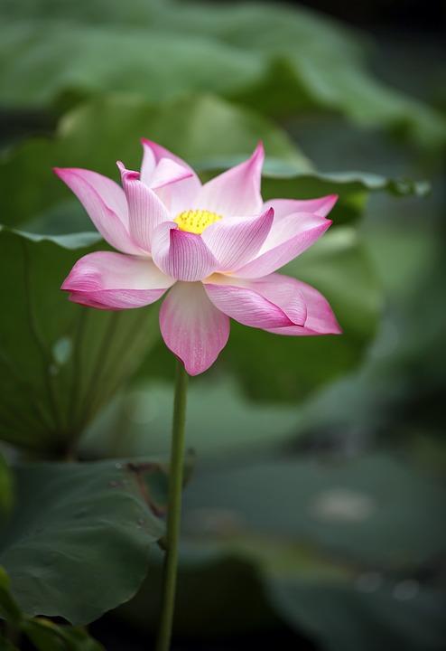 Lotus Flower, Pink Flower, Blooming, Blossoming, Flora