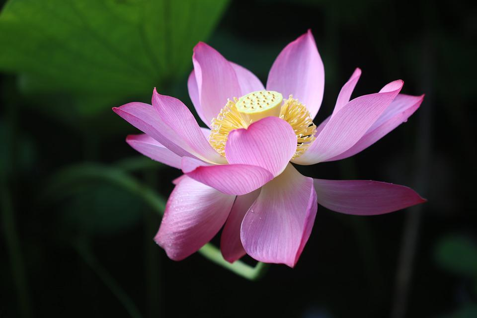 Lotus, Lotus Flower, Stem, Petals, Iris