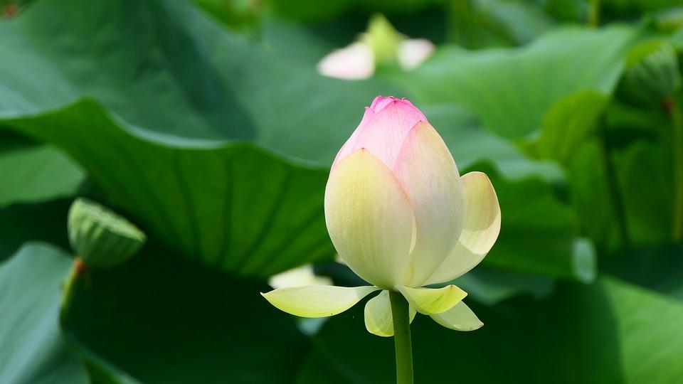 Lotus, Flower, Bud, Lotus Flower, Pink Flower, Petals