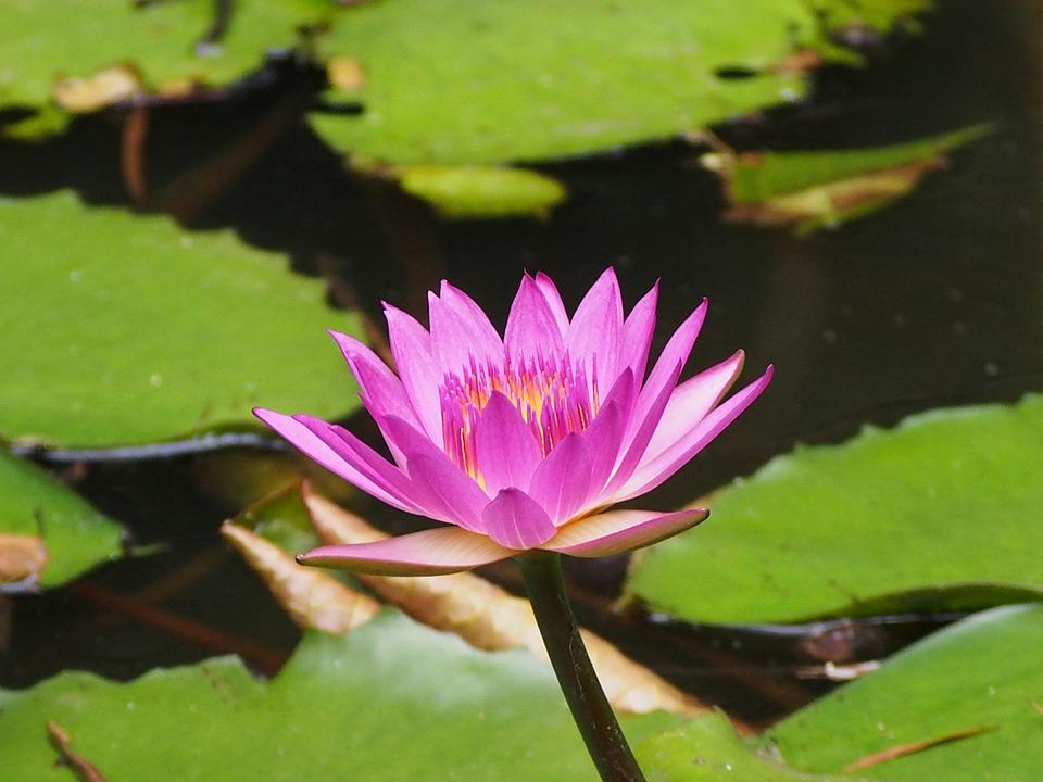 Lotus, Purple, Flower Seed, Bloom
