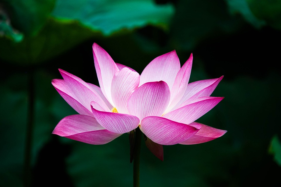 Lotus, Flower, Summer, Zen, Lake, Nature, Pink, China