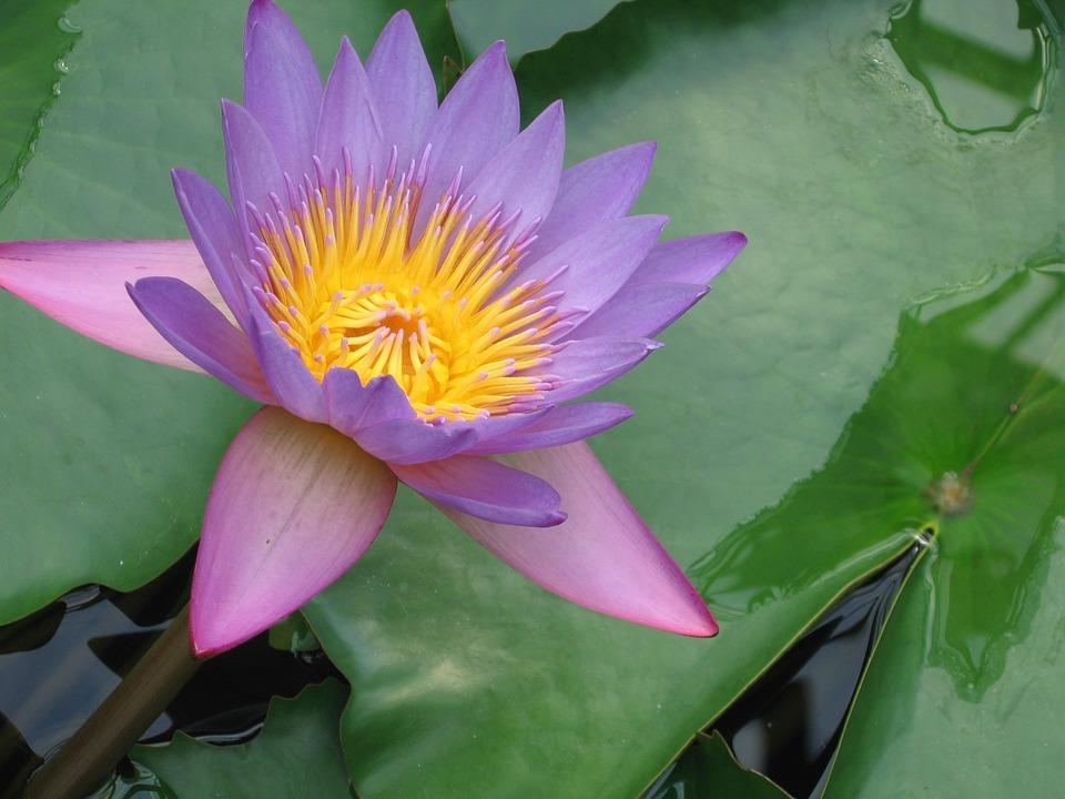 free photo lotus flower water lily blossom lotus blossom max pixel