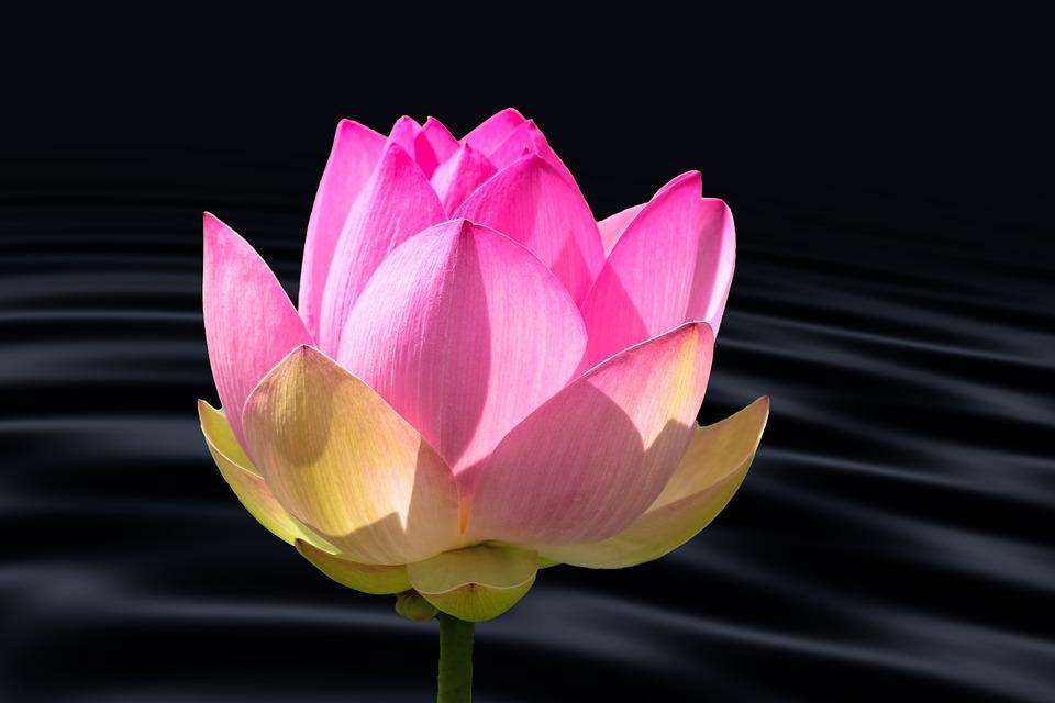 Free photo lotus flower water lotus blossom wave water lily max pixel lotus flower water lily water wave lotus blossom mightylinksfo
