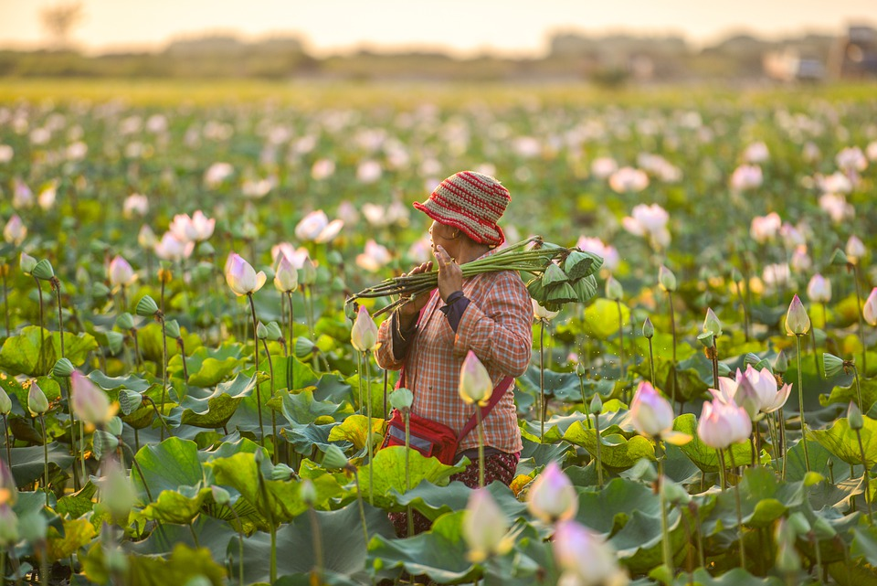 Cambodia, Asia, Travel, Traditional, Lotus Flowers