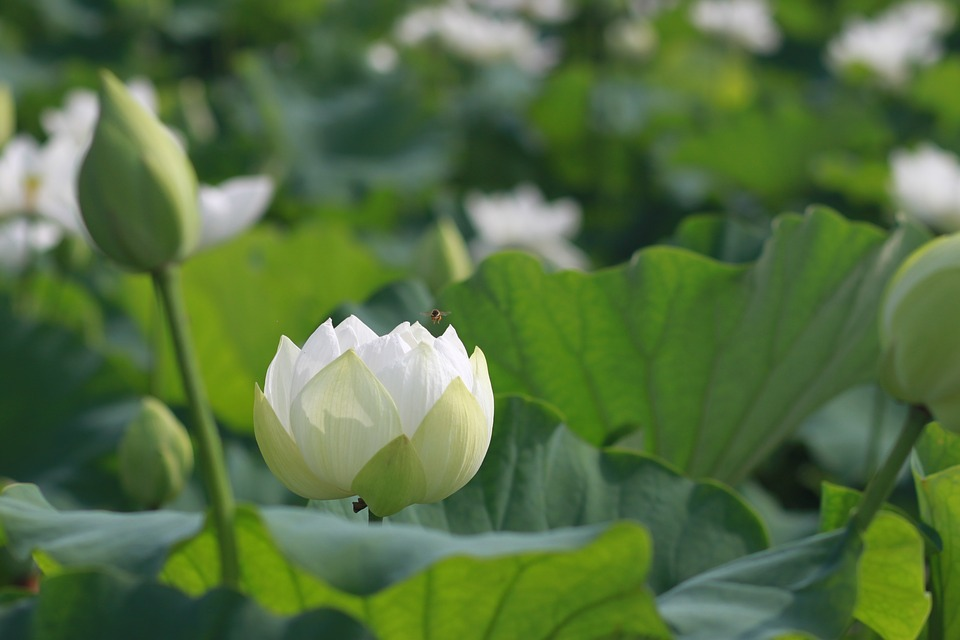 Free photo lotus flowers kite water lilies nature plants max pixel kite lotus nature flowers water lilies plants mightylinksfo