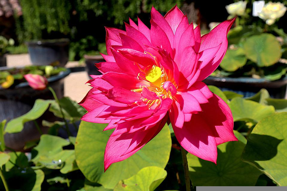 Lotus, Flowers, Water Plants, Red Color, Meditation