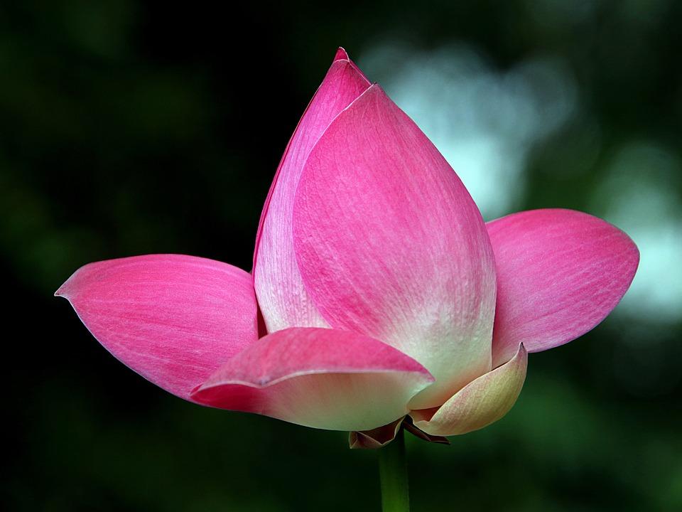 Lotus Flowers, Petals, Flower, The Leaves, Nice