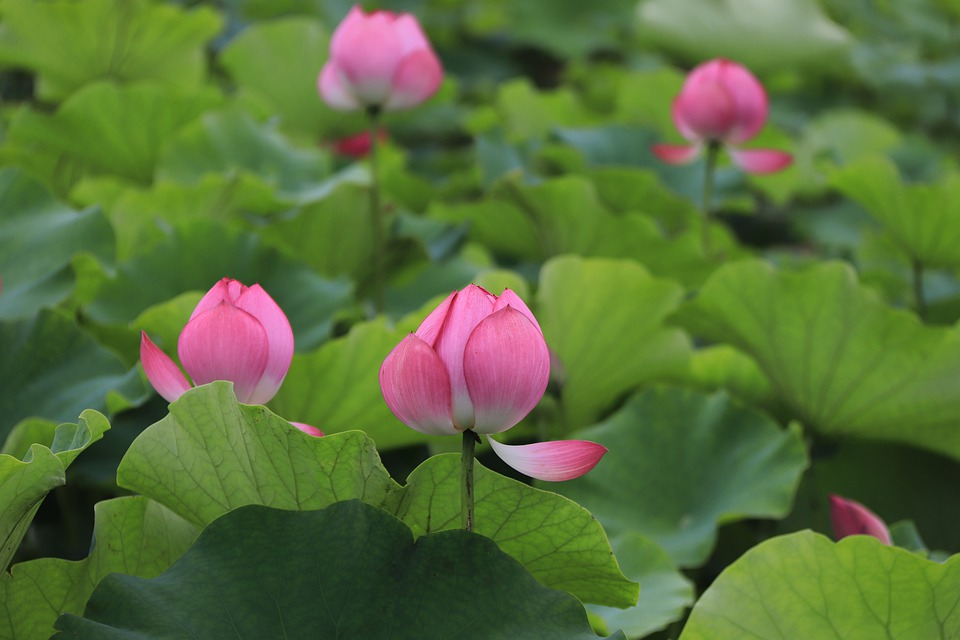 Lotus, Pink Lotus, Lotus Garden, Pink, Nature, Flower