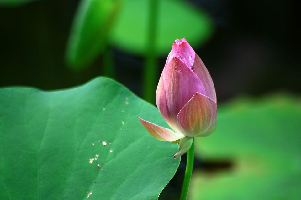 Lotus, Dutch, Leaf, Plant, Nature, Dew, Pond, Pink
