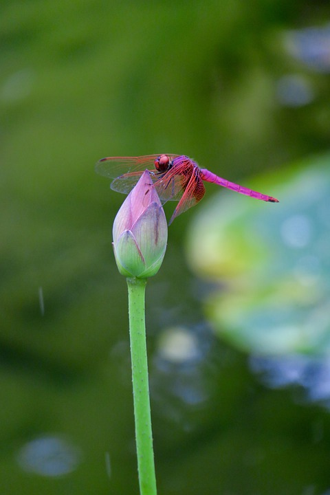 Dragonfly, Dutch, Lotus Leaf, Pond, Insect, Nature